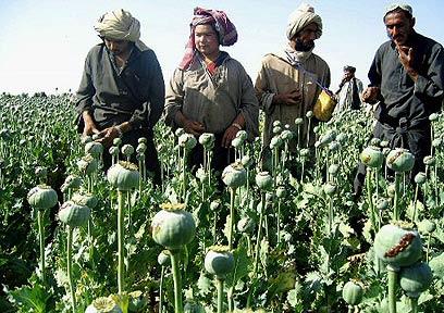 גידולי אופיום באפגניסטן (צילום: AFP)