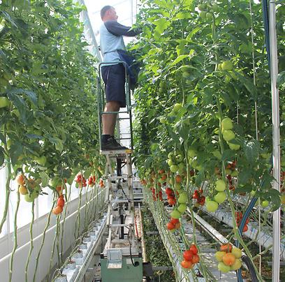 גידול עגבניות בחממות (צילום: בילי פרנקל)