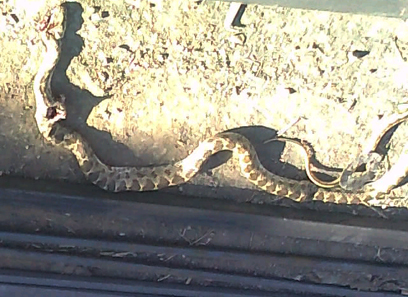 """הנחש, שזכה ל""""טרמפ"""" בצפת (צילום: אבי חטיאל)"""