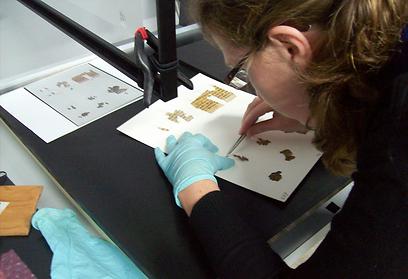 עבודת נמלים על קטעי מגילה במעבדה (צילום: שי הלוי, באדיבות רשות העתיקות)