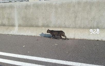 החתול שסיכן את חייו בנתיבי איילון (צילום: דוברות אגף התנועה במשטרה)