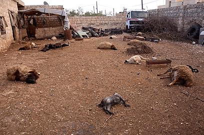 חיות מתות בחאן אל-אסל שליד חלב. לטענת התושבים, הן מתו מחומר כימי שפיזרו כוחות אסד (צילום: רויטרס)