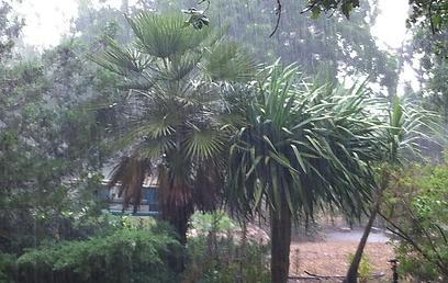 גשם כבד באלון הגליל (צילום: נעמה גיבורי)