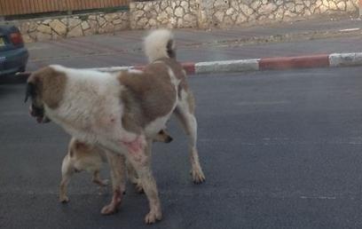 הכלב התוקף לפני שנורה עם הקורבן שניצל