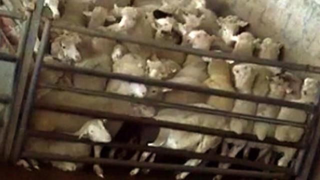 Israel closes largest slaughterhouse over animal abuse