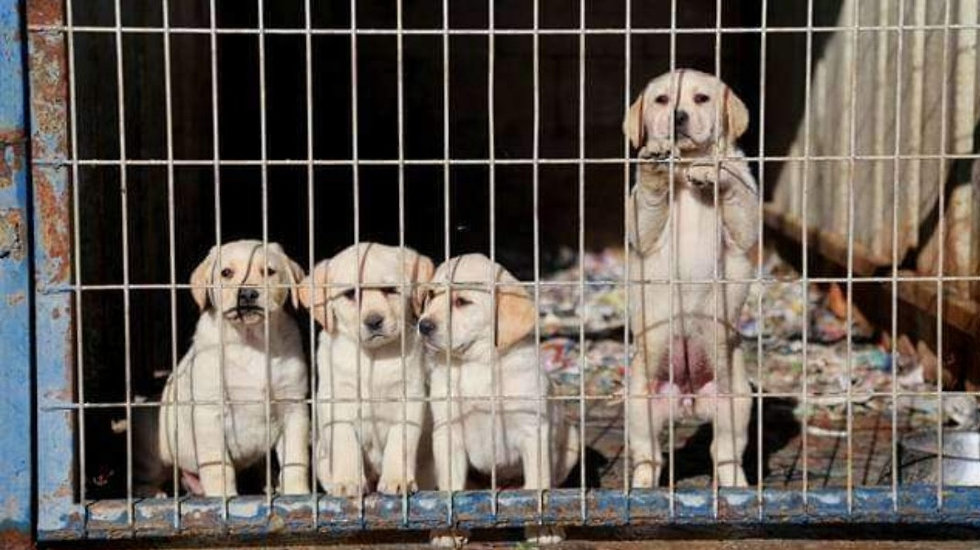 The awful truth behind the puppy mills selling purebred dogs