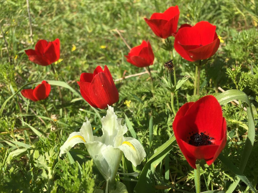 Алые анемоны и ирис в Афеке. Фото: Гилад Кармели