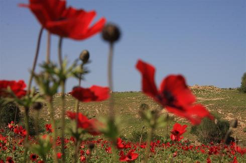 Анемоны в ущельях Рухама. Фото: Яаков школьник, фотоархив ККЛ