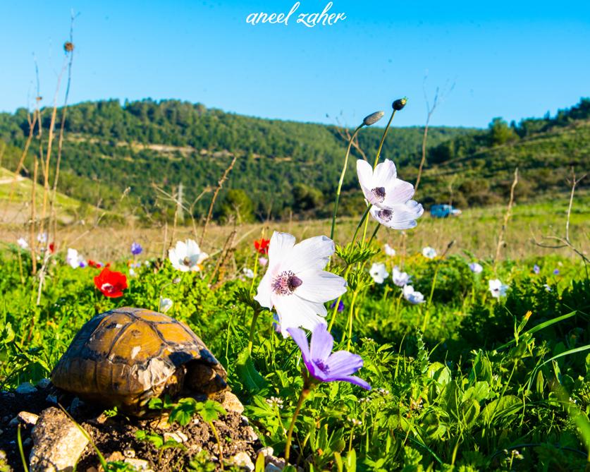 Весна в Рамот-Менаше. Фото: Аниль Захар, фотоархив ККЛ