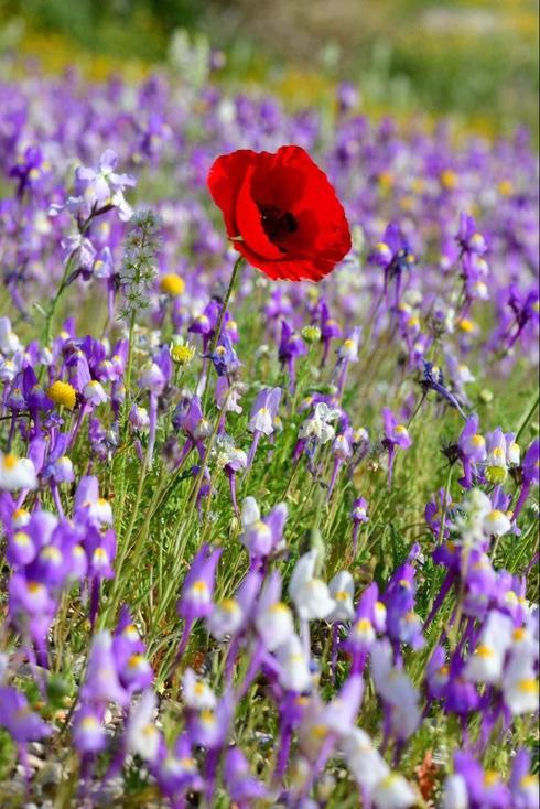 Цветы у Мертвого моря. Фото: Цур Мусри