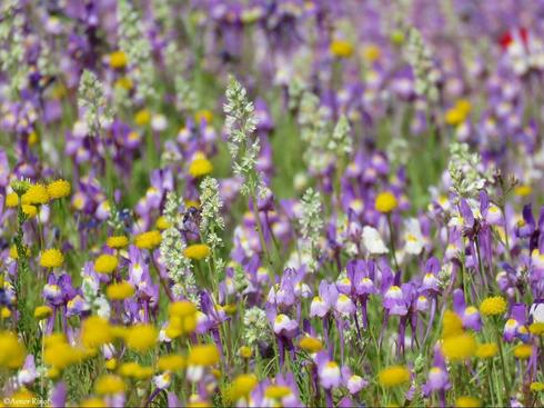 Цветение у Мертвого моря. Фото: Авнер Ринот, Общество охраны природы